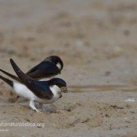 Balestrucci che raccolgono fango per la costruzione del nido