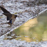 Rondine che raccoglie fango per costruire il nido