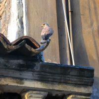 Gheppio maschio (Falco tinnunculus)