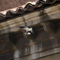 I rondoni raccolgono piume e altro materiale in volo per rendere il nido più accogliente