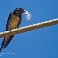 Rondine con una piuma per rivestire internamente il nido di materiale morbido
